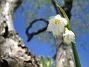 Sommarsnöklocka  2007 2007-05-05 Bild 025