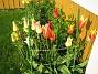 Liljeblommiga Tulpaner  2007 2007-05-17 Bild 022