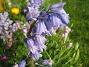 Skogshyacint  2007 2007-05-17 Bild 032