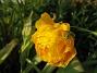Ranunkel  2007 2007-05-17 Bild 035