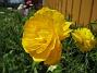 Ranunkel  2007 2007-05-27 Bild 034