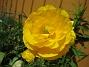 Ranunkel  2007 2007-05-27 Bild 035