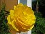 Ranunkel  2007 2007-05-27 Bild 037