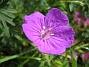 Blodnäva  2007 2007-06-10 Bild 004