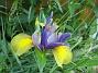 Iris  2007 2007-06-10 Bild 062