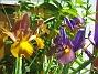 Iris  2007 2007-06-20 Bild 003
