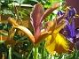 Iris  2007 2007-06-20 Bild 004