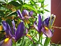 Iris  2007 2007-06-20 Bild 005