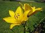Liljor  2007 2007-07-18 Bild 009