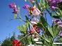 Luktärt ur grodperspektiv!  2007 2007-07-18 Bild 070