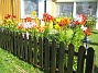 Mina vackra liljor vid staketet  2007 2007-07-18 Bild 088