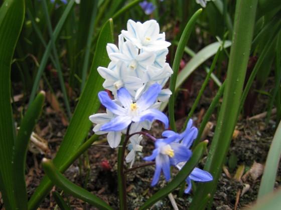 Vårstjärna &nbsp 2008 2008-04-12 Bild 008 Granudden Färjestaden Öland