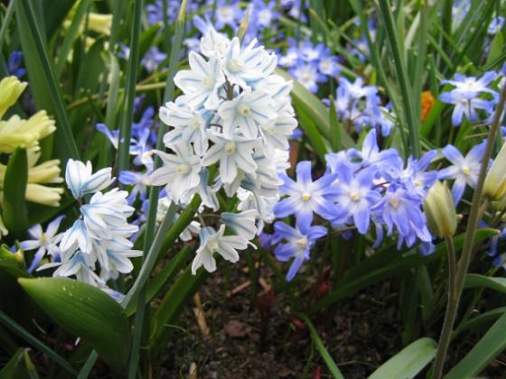 Vårstjärna &nbsp 2008 2008-04-12 Bild 009 Granudden Färjestaden Öland
