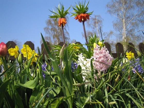 Kejsarkrona, Hyacinter och Narcisser. &nbsp 2008 2008-04-26 Bild 024 Granudden Färjestaden Öland