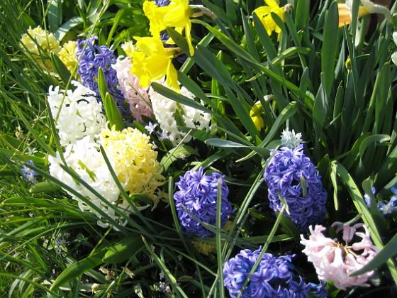 Hyaciner och Narcisser &nbsp 2008 2008-04-26 Bild 064 Granudden Färjestaden Öland