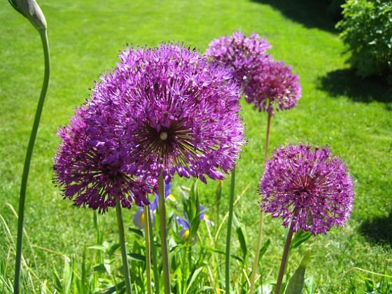 Allium 'Purple Sensation' &nbsp 2008 2008-06-01 Bild 007 Granudden Färjestaden Öland