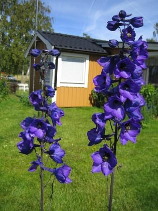 Riddarsporrar &nbsp 2008 2008-07-01 Bild 044 Granudden Färjestaden Öland