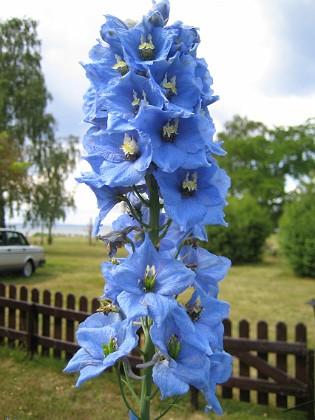 Riddarsporrar  2008 2008-07-07 Bild 063 Granudden Färjestaden Öland