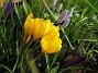 Krokus  2008 2008-03-01 Bild 052