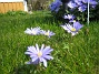 Anemoner  2008 2008-04-26 Bild 003