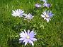 Anemoner  2008 2008-04-26 Bild 004