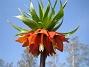Kejsarkrona  2008 2008-04-26 Bild 023