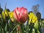 Darwinhybridtulpan.  2008 2008-04-26 Bild 025