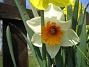 Narcisser.  2008 2008-04-26 Bild 029
