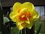 Narcisser.  2008 2008-04-26 Bild 031