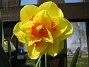 Narcisser.  2008 2008-04-26 Bild 033