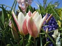 Tulpaner Candy Cane Blend  2008 2008-04-26 Bild 036