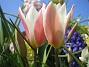 Tulpaner Candy Cane Blend  2008 2008-04-26 Bild 040