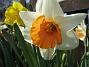 Narcisser.  2008 2008-04-26 Bild 059
