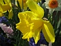Narcisser  2008 2008-04-26 Bild 060