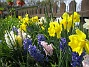 Narcisser och Hyacinter.  2008 2008-04-26 Bild 061