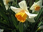 Narcisser  2008 2008-04-26 Bild 065