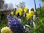 Hyacinter och Narcisser  2008 2008-04-26 Bild 073