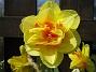 Narcisser  2008 2008-04-26 Bild 074