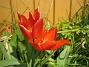 Tulpaner  2008 2008-04-26 Bild 098