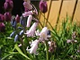 Skogshyacinter  2008 2008-05-08 Bild 034