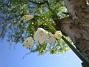 Sommarsnöklocka  2008 2008-05-08 Bild 052