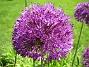 Allium 'Purple Sensation'  2008 2008-06-01 Bild 008