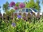 Allium 'Purple Sensation'  2008 2008-06-01 Bild 011