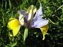Iris  2008 2008-06-07 Bild 015