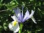 Iris  2008 2008-06-07 Bild 019