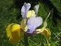 Iris  2008 2008-06-07 Bild 034