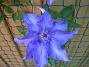 Klematis  2008 2008-06-07 Bild 064