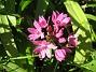 Allium (Berglök)  2008 2008-06-07 Bild 087