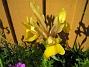Iris  2008 2008-06-07 Bild 108