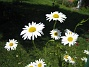 Prästkragar  2008 2008-06-15 Bild 029